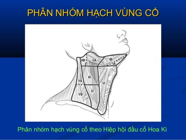 giai-phau-phan-nhom-hach-vung-co